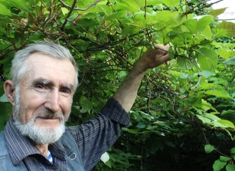 Подрастают плоды русского киви